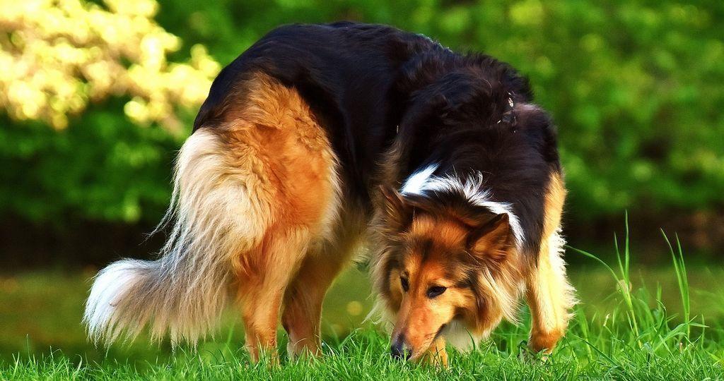 lassie-szep-kutyus